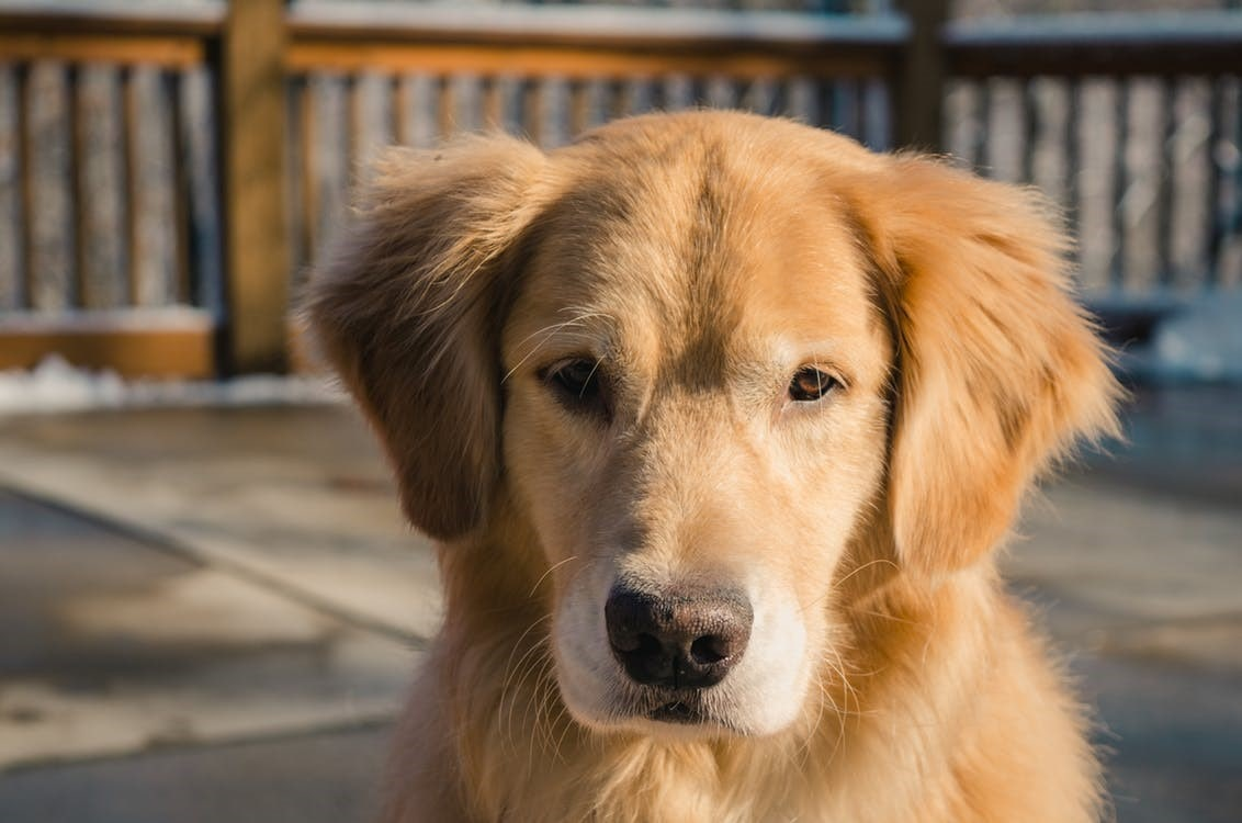 Breed - German shepherd Golden Retriever Mix