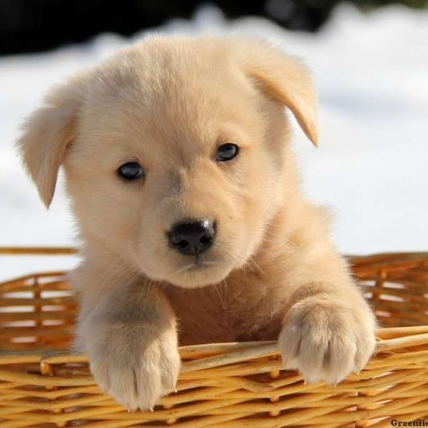 Puppy - German shepherd Golden Retriever Mix