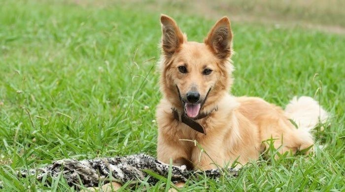 Temperament -German shepherd Golden Retriever Mix